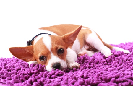 chiwawa: Chihuahua looking something on carpet color purple Stock Photo