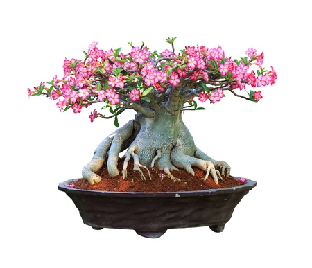 Desert Rose bloming in a flowerpot with clipping path Stockfoto