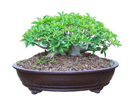 Desert Rose bloming in a flowerpot with clipping path photo