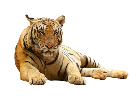 roaring tiger: Tiger with clupping path