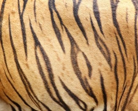 beautiful tiger fur  photo