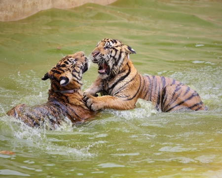 Two young tiger playing in water