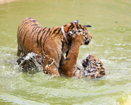 Baby tiger playing in water photo
