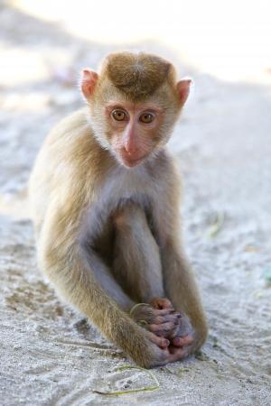 macaque: Portrait  Macaque.  Stock Photo