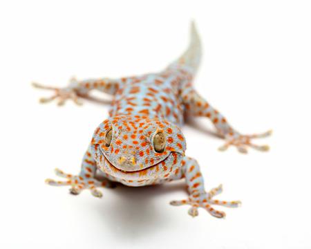 Tokay Gecko Thailand on white background photo
