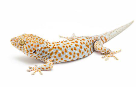 tokay gecko: Tokay Gecko Thailand on white background