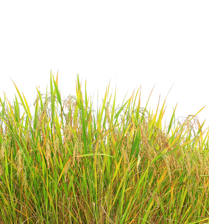 crop margins: Autumn rice field on white background