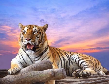 Tiger looking something on the rock with beautiful sky at sunset time photo
