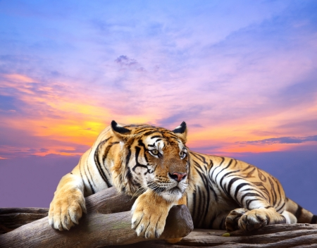 Tiger looking something on the rock with beautiful sky at sunset time 스톡 콘텐츠