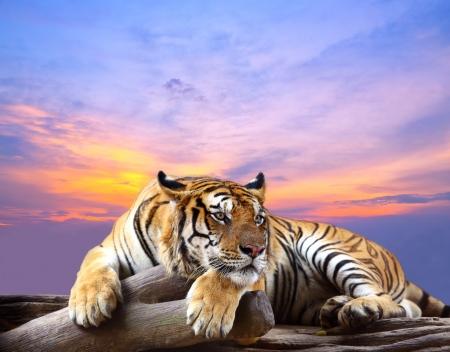 animales de la selva: Tiger busca algo en la roca con el cielo hermoso en tiempo de la puesta del sol