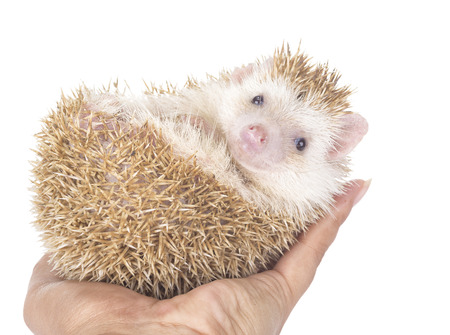 Four-toed Hedgehog, Atelerix albiventris, balled up in front of white background  photo