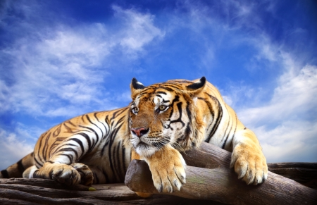 white tigers: Tiger with blue sky