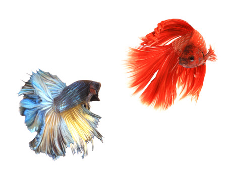 fire fin fighting: Fancy siamese fighting fish, betta fish isolated on black