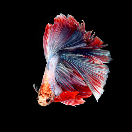 crown tail: Fancy siamese fighting fish, betta fish isolated on black