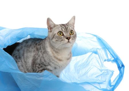 회색 shothair 고양이의 초상화 비닐 봉지에 뭔가를 찾고