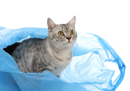 Portrait of gray shothair cat looking something in plastic bag  photo