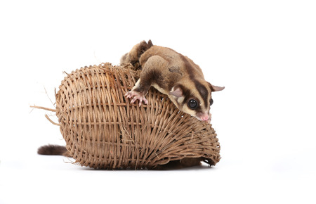 sugar glider - Petaurus breviceps gambol on wooden basket on white background photo