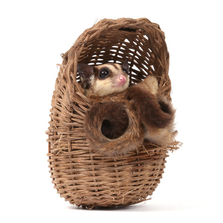 Cute sugar glider - Petaurus breviceps in wooden basket on white background photo