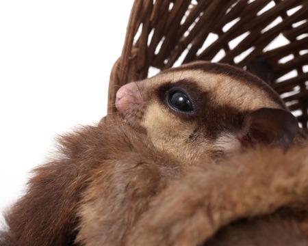Cute sugar glider - Petaurus breviceps  looking something in wooden basket photo