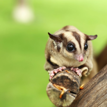 mealworm: sugar-glider climb on the tree with mealworm