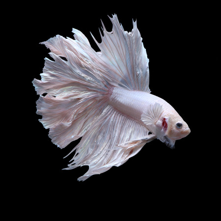 fighting fish, betta on black background photo