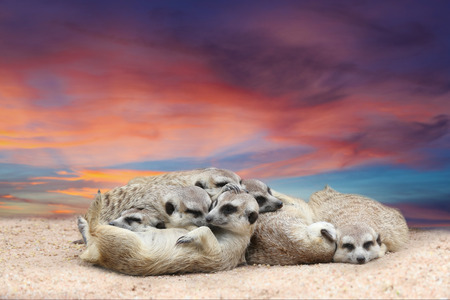 suricata suricatta: Suricate or meerkat (Suricata suricatta) family sleep with beautiful sky at twilight time Stock Photo