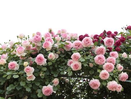 flower garden: Climbing pink roses in garden