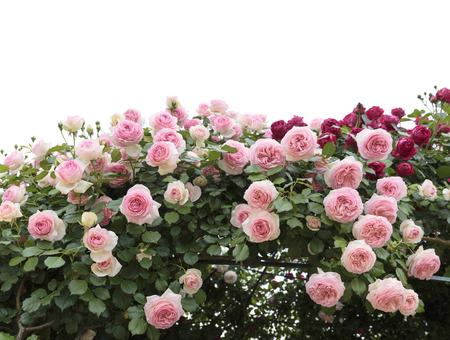 Escalada rosas de color rosa en el jardín Foto de archivo