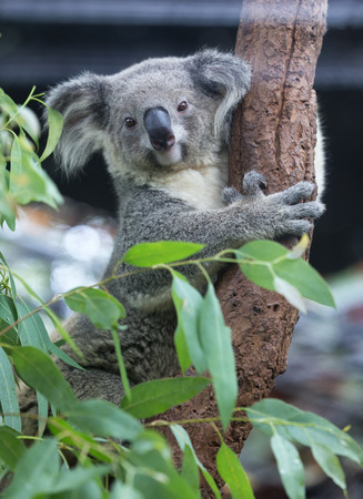arboreal: Koala eating eucalyptus leaves Libby Titus. Stock Photo