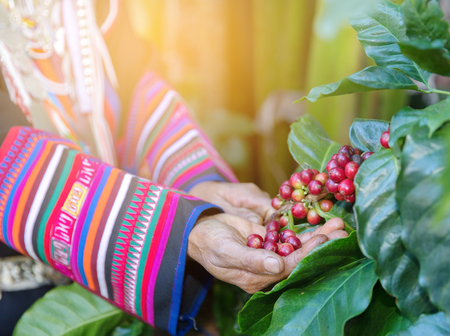 Hand of woman show  coffee beans from branch of coffee plant ,select focus