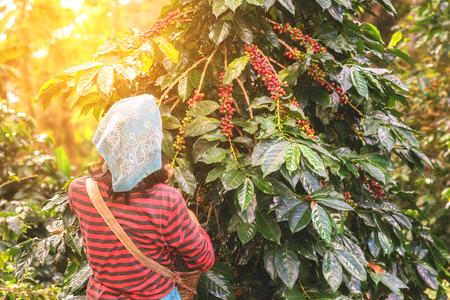 Hand van de vrouw toont koffiebonen van tak van de koffie plant