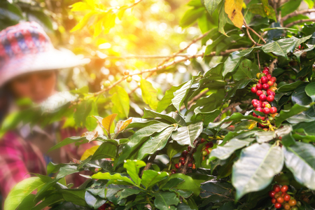 woman picking red coffee beans on bouquet on tree