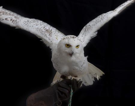 Snowy Owl - Bubo scandiacus staande op lederen handschoen van de menselijke hand en de wijd uitgespreide vleugels op een zwarte achtergrond