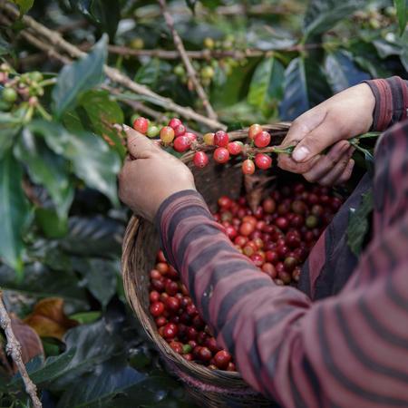 クローズ アップ手摘みアラビカのコーヒー果実バスケット赤の農民。