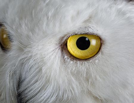 Taxidermy Snowy Owl On White Background