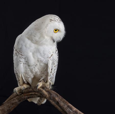 Taxidermy Snowy Owl On black Background Stockfoto