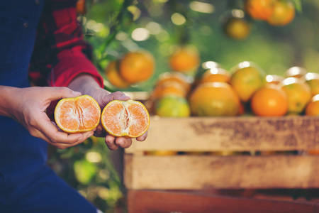 Fresh oranges on citrus tree in the garden. Banque d'images