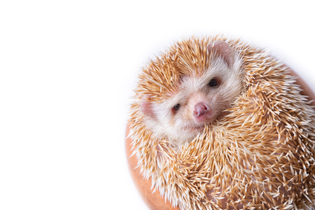 European Hedgehog isolated on white background.