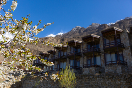 Cherry blossom in the gardent at Lady finger and Hunza peak with snow capped. Hunza valley, Gilgit-Baltistan, Pakistan.