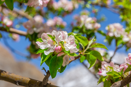 Blossom apple over nature background, spring flowers - Image Stock Photo