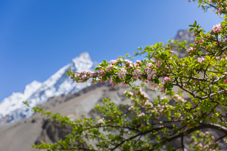 Blossom apple over nature snow mountain background, spring flowers - Image Stock Photo