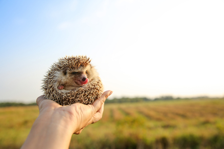 Hedgehog funny tongue in hands with nature background ,travel concept together.
