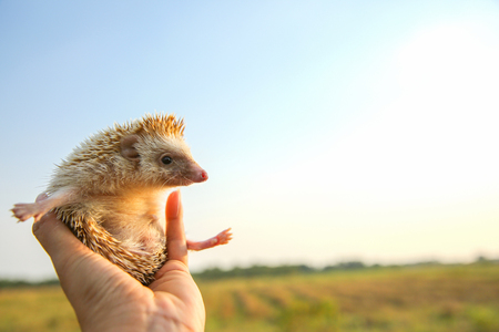 Hedgehog funny can fly in hands with nature background ,travel concept together. Imagens