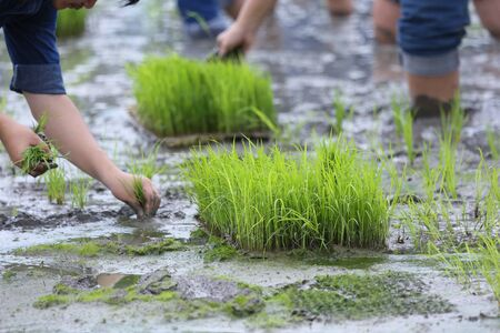 friendship,young farmer planting on the Rice Berry organic paddy rice farmland,Together concept.
