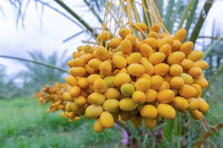 Bouquet of fresh date palm tree (Phoenix dactylifera) on tree in the organic farm.