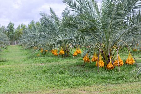 date palm tree (Phoenix dactylifera) on tree in the organic farm. 免版税图像