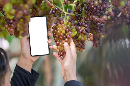 Farmer holding smartphone with empty screen on hand in the grape garden.