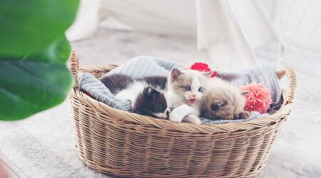 Group of kitten sleep in the wooden basket
