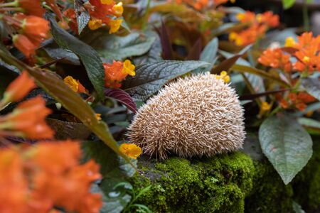 Hedgehog, (Scientific name: Erinaceus europaeus) European hedgehog in natural garden habitat with flower garden.