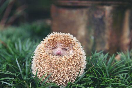 Hedgehog, (Scientific name: Erinaceus europaeus) European hedgehog in natural garden habitat with green grass.
